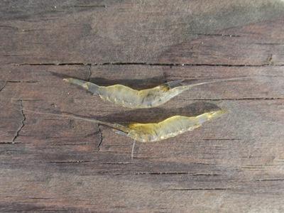grass shrimp width=