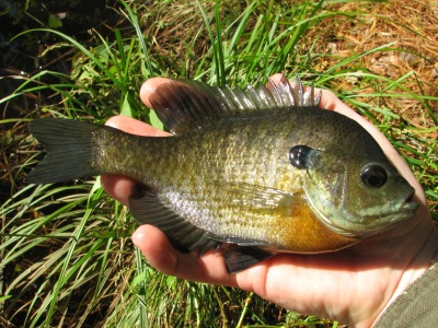 Index of images freshwater fish for Freshwater pond fish