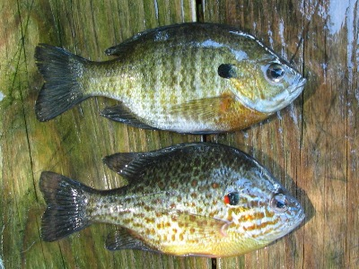 Mid atlantic sunfish species for Shell cracker fish