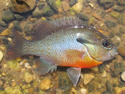 redbreast sunfish spawning phase male