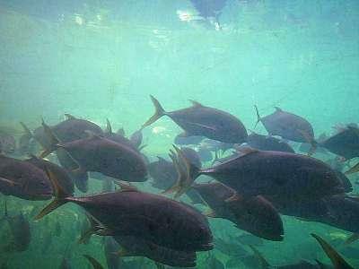 crevalle jack fish