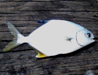 Fishing for pompano for Florida pompano fish