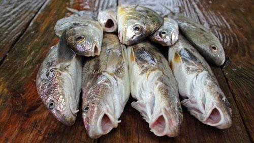pier fish species