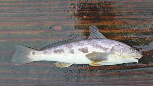 southern kingfish (roundhead)