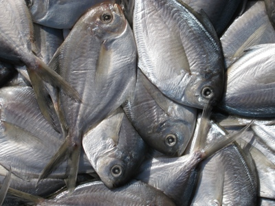 butterfish for catching tuna