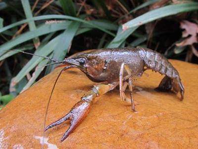 crayfish for bait