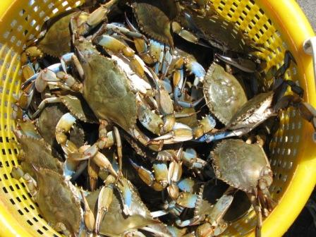 atlantic blue crabs