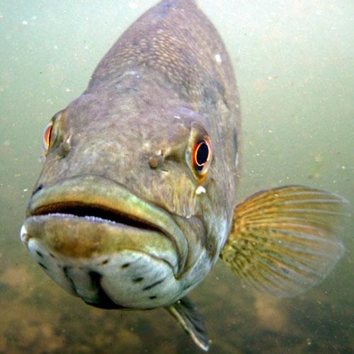 smallmouth bass aka bronzeback,, redeye