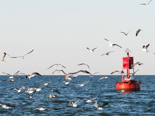 birds hovering over striped bass and other fish