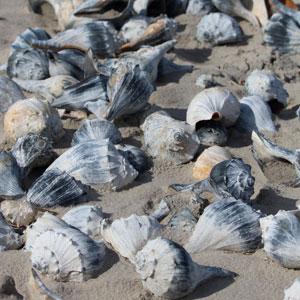 cape may nj seashells beach