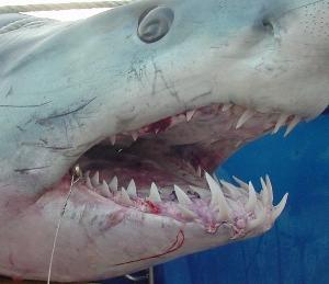 mako shark jaws