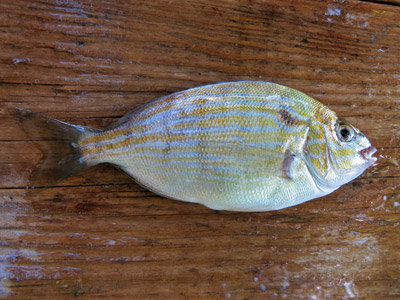 pinfish for bait