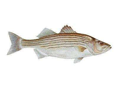 striped bas