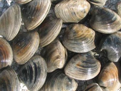 quahog clams
