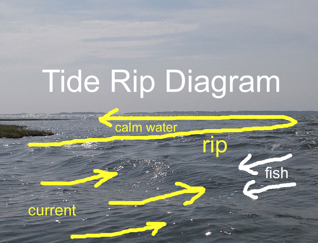 tide rip where fish congregate