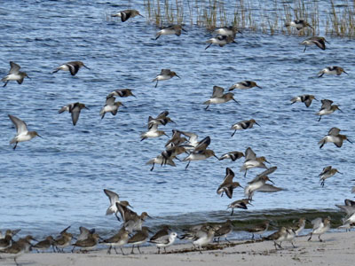 winter shorebirds