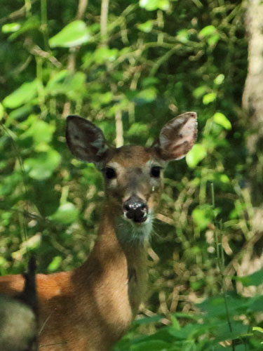white tailed deer doe woods